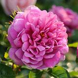 Rose Princess Anne