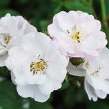 Rose Perennial Blush