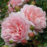 Rose Wild Eve