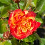 Rose Firebird