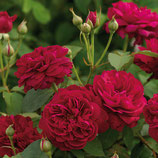 Rose Darcy Bussell