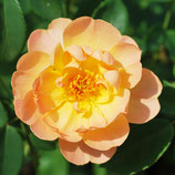Rose The Lark Ascending