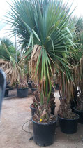 "SABAL PALMETTO""tous reserves"""