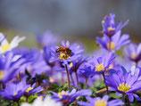 Anemone blanda 'Blue Shades' - Blaue Frühlingsanemone (Bio-Blumenzwiebeln, DE-ÖKO-037)