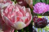 Tulpenmix 'Romantic' - Romantische Tulpenmischung (Blumenzwiebeln)