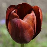 Tulipa 'Dom Pedro' - Breeder-Tulpe <1911 (Blumenzwiebeln)