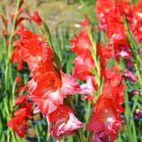 Gladiolus 'Traderhorn' - Edelgladiole (Bio-Gladiolenknollen, DE-ÖKO-037)
