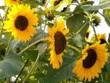 Sonnenblume 'Henry Wilde' (Bio-Saatgut, AT-BIO-301)