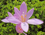 Colchicum autumnale var. minor - Echte Herbstzeitlose (Blumenzwiebeln) 2 Stück
