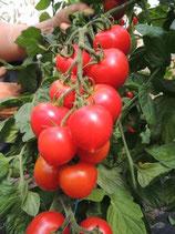 Salattomate 'Ruthje' (Bio-Saatgut)