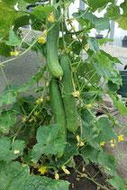 Salatgurke 'Tanja' (Bio-Saatgut, AT-BIO-301)