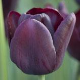 Tulipa 'Queen of Night' - Einfache späte Tulpe (Blumenzwiebeln)