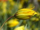 Tulipa sylvestris - Weinberg-Tulpe (Bio-Blumenzwiebeln, DE-ÖKO-037)