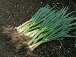 Frühlingszwiebel 'Ishikura Long White' (Bio-Saatgut)