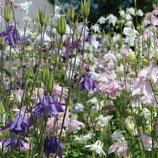 Akelei, blau-violett-hellrosa (Bio-Saatgut)