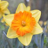 Narcissus 'Pride of Lions' - Großkronige Narzisse (Blumenzwiebeln)