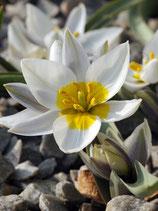 Tulipa polychroma - Weiße Zwerg-Tulpe (Blumenzwiebeln)