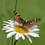 Wildblumenmischung 'Trockener Standort' (Bio-Saatgut, AT-BIO-301)