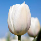 Tulipa 'Inzell' - Triumph-Tulpe