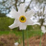 Narcissus poeticus var. recurvus - Dichternarzisse (Bio-Blumenzwiebeln, DE-ÖKO-037)