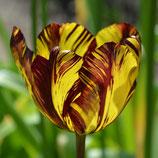 Tulipa 'Absalon' - Rembrandt-Tulpe 1780 (Blumenzwiebel)