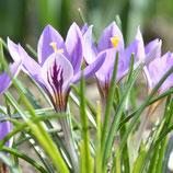 Crocus minimus 'Spring Beauty'® - Kleinster Krokus (Blumenzwiebeln)