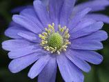 Anemone blanda 'Blue Shades' - Blaue Frühlingsanemone (Blumenzwiebeln)