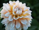 Dahlia 'Seattle' - Dekorative Dahlie (Bio-Dahlienknollen)