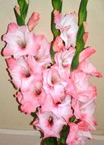 Gladiolus 'Extase' - Edelgladiole (Bio-Gladiolenknollen, DE-ÖKO-037)