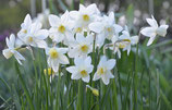 Narcissus 'Sailboat' - Jonquilla-Narzisse (Bio-Blumenzwiebeln, DE-ÖKO-037)