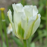 Tulipa 'Spring Green' - Viridiflora-Tulpe (Blumenzwiebeln)