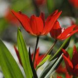 Tulipa praestans 'Zwanenburg' - Mehrblütige Tulpe (Bio-Blumenzwiebeln)