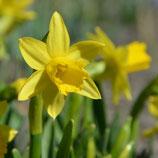 Narcissus cyclamineus 'Tête à Tête' - Alpenveilchen-Narzisse (Bio-Blumenzwiebeln, DE-ÖKO-037)