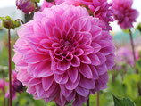 Dahlia 'Lucky Number' - Dekorative Dahlie (Bio-Dahlienknollen, DE-ÖKO-037)