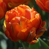 Tulipa 'Orange Princess' - Gefüllte späte Tulpe (Blumenzwiebeln)