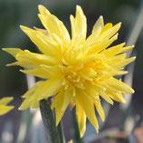 Narcissus 'Rip van Winkle' -  Gefüllte Narzisse (Bio-Blumenzwiebeln, DE-ÖKO-037)