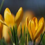 Crocus flavus 'Golden Yellow' - Gold-Krokus (Bio-Blumenzwiebeln, DE-ÖKO-037)