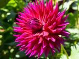Dahlia 'Orfeo' - Kaktus-Dahlie (Bio-Dahlienknollen, DE-ÖKO-037)