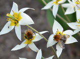 Tulipa turkestanica - Gnomen-Tulpe (Bio-Blumenzwiebeln, DE-ÖKO-037)