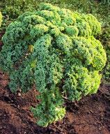 Grünkohl 'Halbhoher grüner Krauser' (Bio-Saatgut, AT-BIO-301)