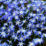 Chionodoxa forbesii 'Blue Giant' - Schneeglanz (Bio-Blumenzwiebeln)