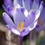 Crocus tommasinianus - Elfenkrokus (Blumenzwiebeln)