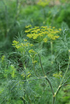 Dill (Bio-Saatgut, AT-BIO-301)