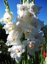 Gladiolus 'Ocilla' - Edelgladiole (Bio-Gladiolenknollen, DE-ÖKO-037)