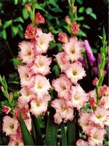 Gladiolus 'Dolce Vita' - Edelgladiole (Bio-Gladiolenknollen, DE-ÖKO-037)