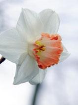 Narcissus 'Pink Charm' - Großkronige Narzisse (Blumenzwiebeln)