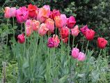 Tulpen-Mischung 'French Colors' - Französiche Floristentulpen (Blumenzwiebeln)