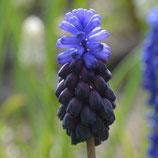 Muscari latifolium - Breitblättrige Traubenhyazinthe (Bio-Blumenzwiebeln, DE-ÖKO-037)