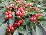 Chili 'Red Cherry Small' (Bio-Saatgut)
