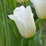 Tulipa 'Inzell' - Triumph-Tulpe (Blumenzwiebeln)